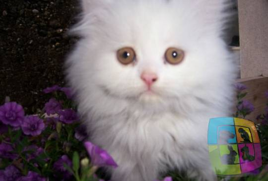 Kupujem Persijsku Macu Prodaja Pasa Svih Rasa Psi Na